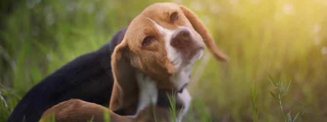 Beagle dog itching in field
