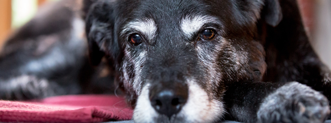 Old black dog with arthritis