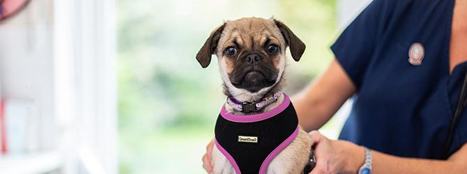 pug dog at consult at the vets