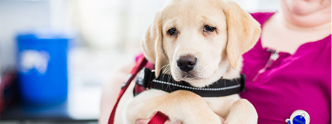 A picture of a puppy attending an appointment at a veterinary practice