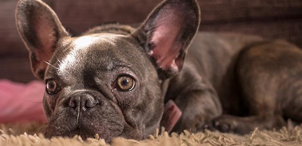 french bulldog lying on carpet