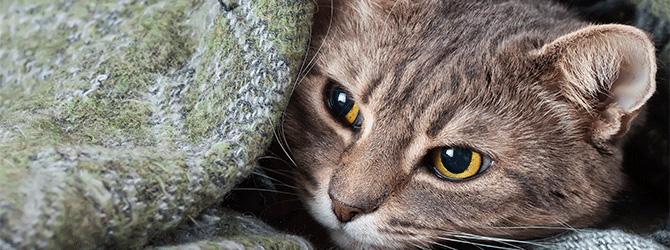 Feline calicivirus
