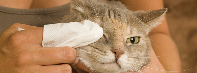 Cat having a check up for conjunctivitis