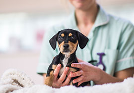 A puppy having a first visit to a veterinary practice