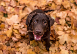 Labrador puppy on autumn
