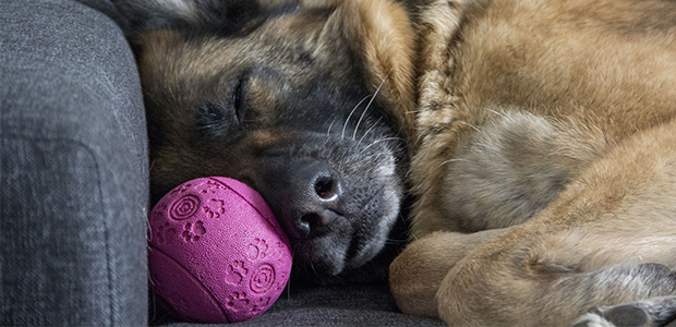 dog sleeping with ball next to nose