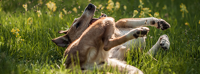 dog rolling over in field