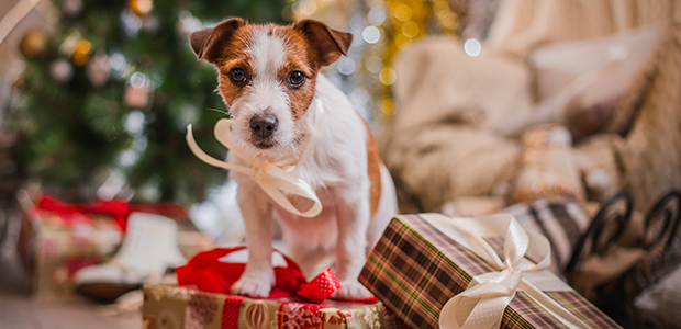 dog sat on present at christmas
