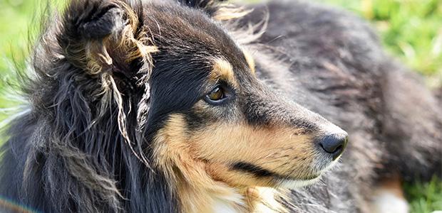shetland sheepdog sideways on