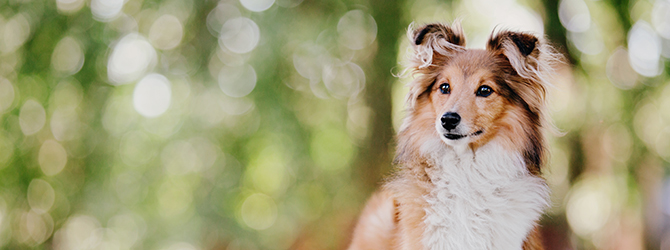 white chested shetland sheepdog with blurred background