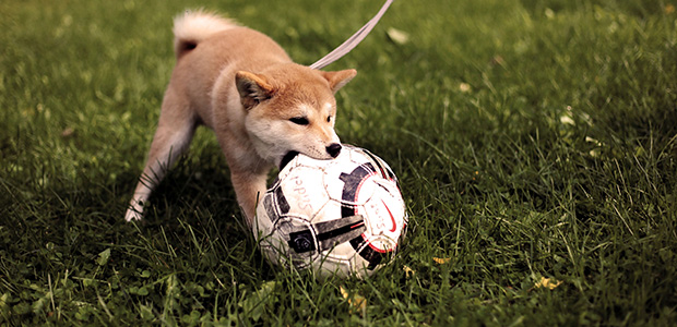 puppy chewing football