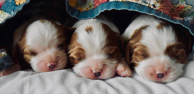 3 puppies snuggled together