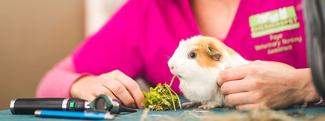 guinea pig eating some leaves at veterinary clinic