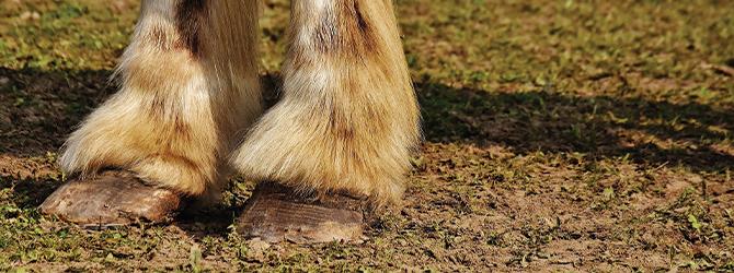 Laminitis in horses