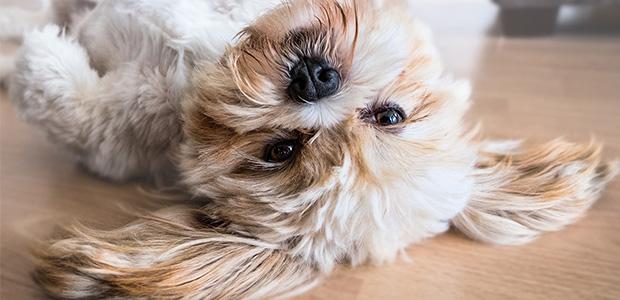dog on back on laminate floor