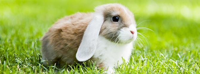 RVHD in rabbits