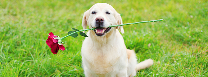 dog holding a rose