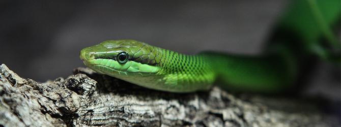 Snake health problem