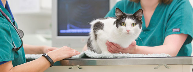 Picture of a cat during a veterinary consultation