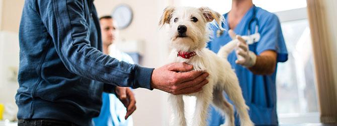 A dog receiving vaccinations