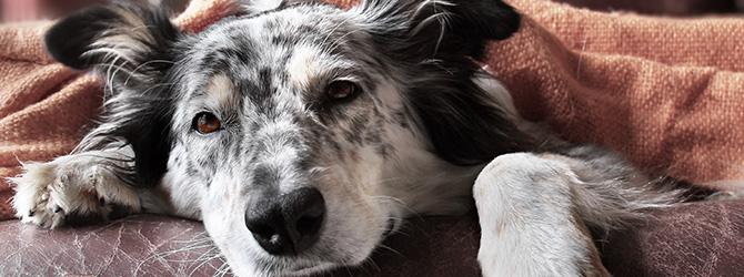 sleepy grey dog under blanket