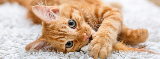 Small Ginger Cat with Gingivitis